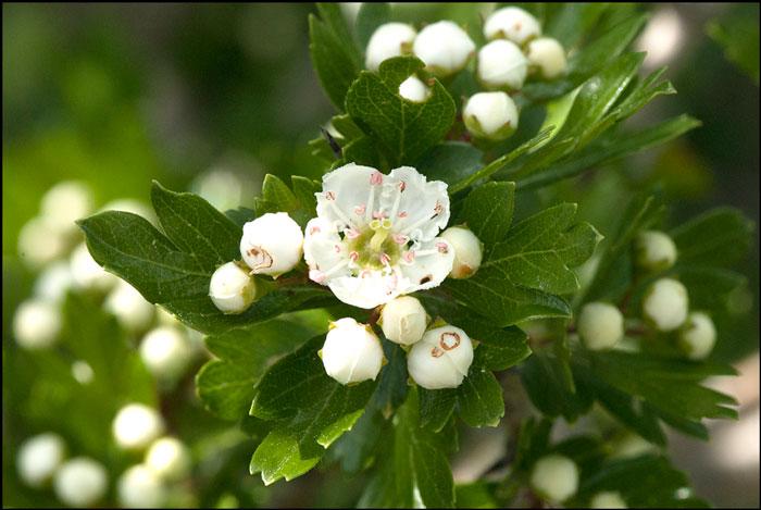 Propiedades del Espino blanco, una planta con gran corazón.