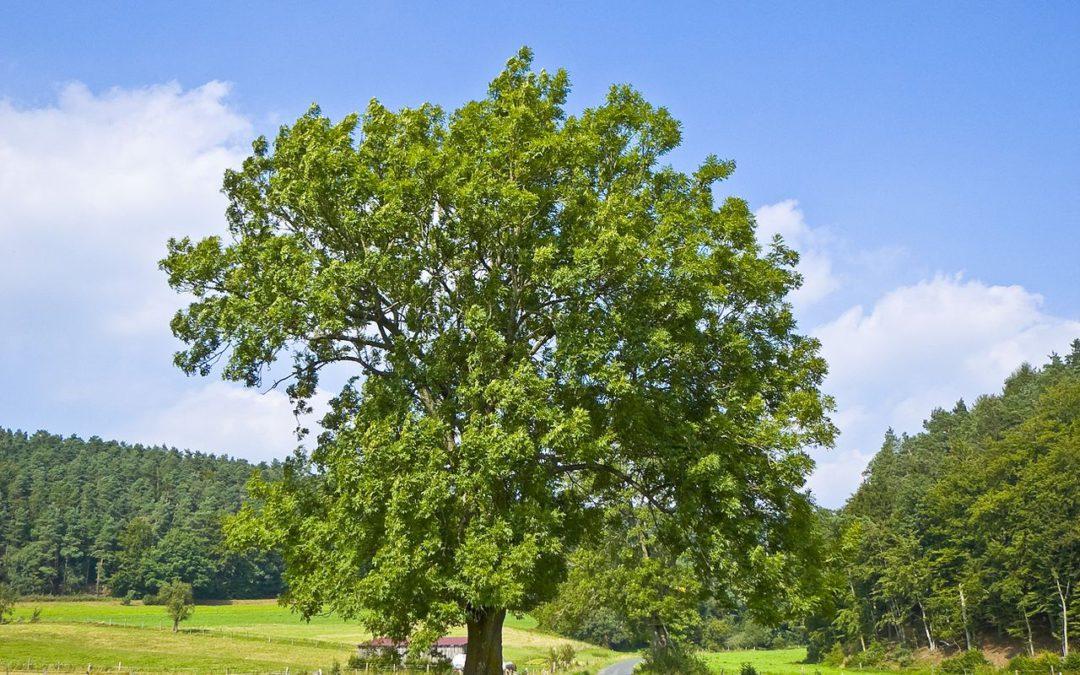 Fresno, árbol de la flexibilidad