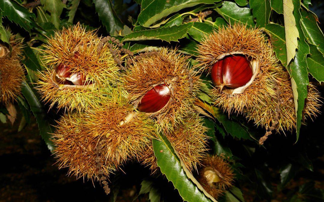 El castaño, árbol de la expansión