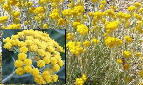 Propiedades del Helicriso, remedio para la alergia